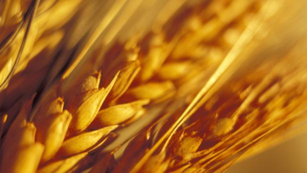 Cereali: tipi e proprietà