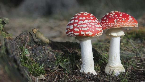 Varietà di funghi velenosi