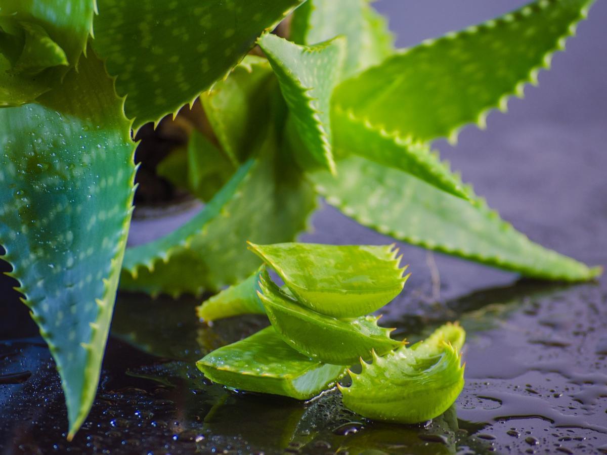 Aloe Vera Origini Usi E Proprieta Paginemediche