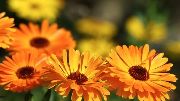 Calendula: proprietà curative e benefiche