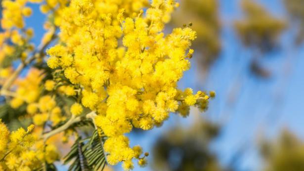 Mimosa: le virtù curative dell'acacia dealbata