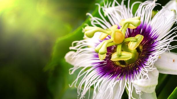 Passiflora, il fiore della passione
