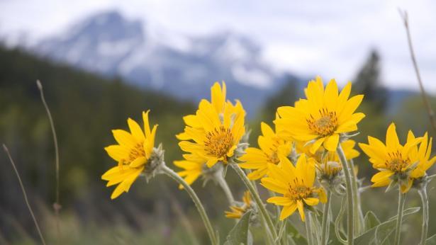 Arnica montana: i benefici per muscoli e articolazioni