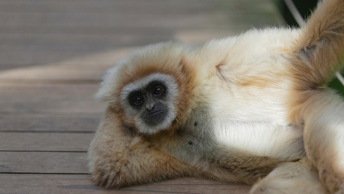 erezione di scimmia