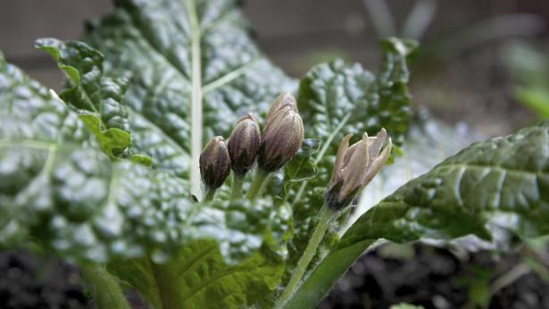 La mandragora - una pianta magica