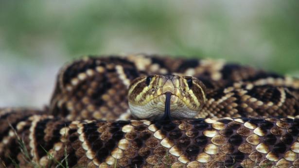 Dal veleno di serpente arriva un farmaco antipiastrinico